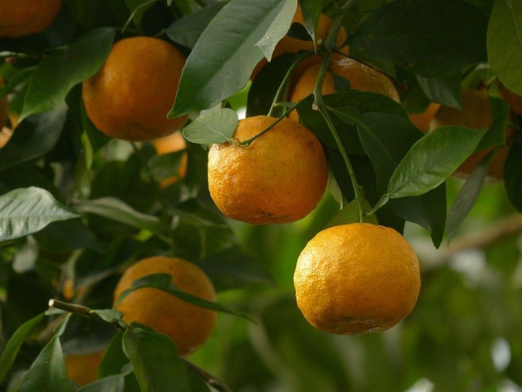 שמן חֻשְׁחָשׁ או תפוז מר